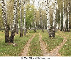 Autumn birch grove