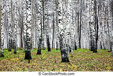 Autumn birch grove in october