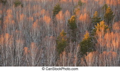 Autumn birch grove view from above