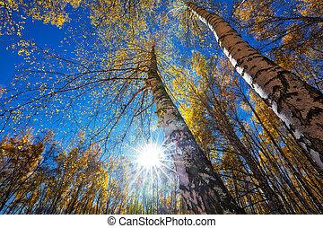 Autumn birch grove. Western Siberia - Landscape with birch ...