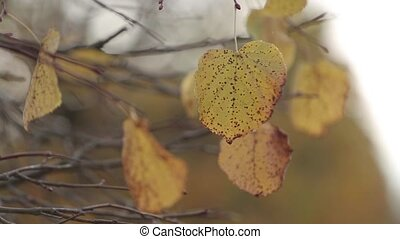 Autumn Birch leaves on a tree wail in the wind - Autumn...