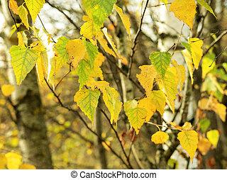 Autumn birch tree closeup on a sunny day.