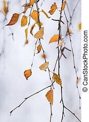 Autumn birch tree leaves hanging