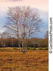 Autumn birch tree, Netherlands