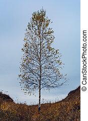 Autumn birch tree on hillside