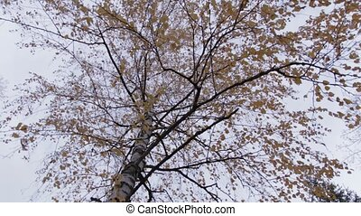 Autumn Birch Tree, rotation movement