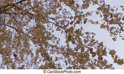 Autumn Birch Tree with smooth movement