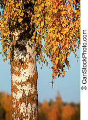 Birch with yellow leaves in sunny autumn day.