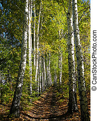 birch woods alley