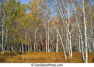 Autumn birches 1
