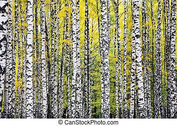 Autumn birches background