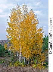 Birches grow in the field