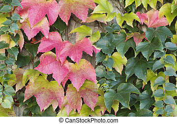 Autumn Boston Ivy Background