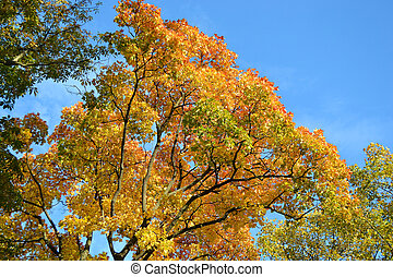 Autumn branch of maple tree