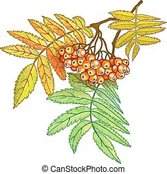 Autumn branch of rowan with berries and leaves