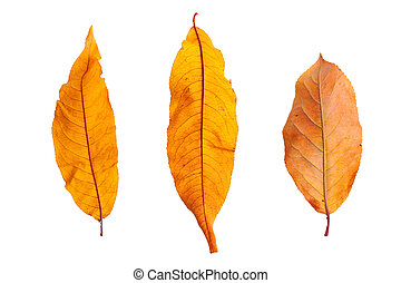 Autumn branch with leaves isolated on background