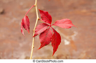 Autumn branch with red leaves on brown background