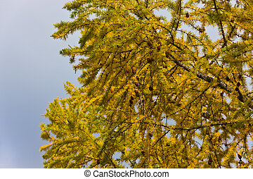 Autumn branches of a larch
