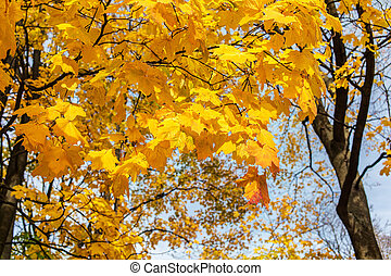 maple with golden foliage