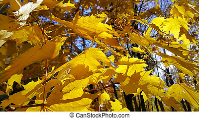 Autumn branches with yellow foliage of maple tree