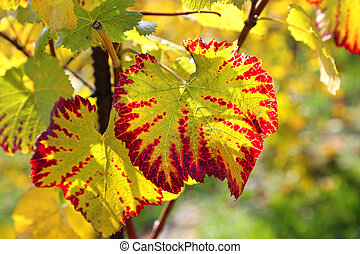 Autumn bright leaf of grape