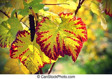 Autumn bright leaf of grape