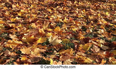 Autumn bright maple leaves fall down and cover the ground