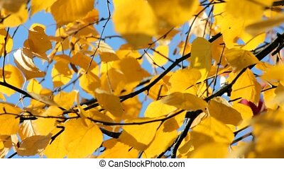 autumn bright yellow birch leaves
