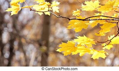 autumn bright yellow maple leaves