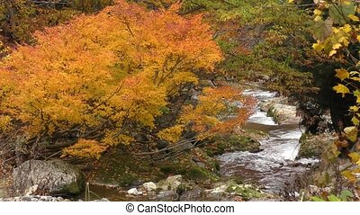 Autumn brook - Autumn orange maple tree beside brook in...