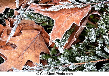 autumn brown oak leaves on a green background, blue juniper leaves with hoarfrost, frosty morning. Floral background. Floral texture.