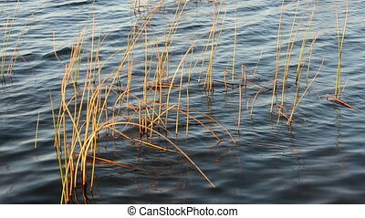autumn bulrush in the lake water and waves