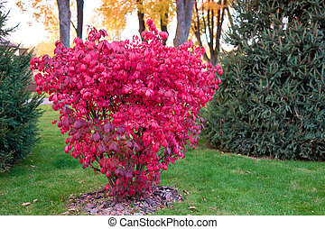Autumn bush with red leaves.