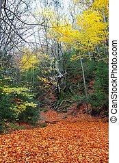 autumn centenary beech tree in fall golden leaves