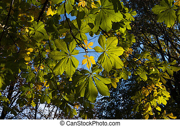 Autumn chestnut leaves