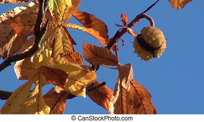 autumn chestnut - chestnut on tree bursting out of its...