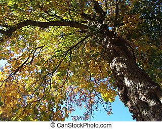 autumn chestnuttree