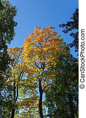 Autumn color maple foliage