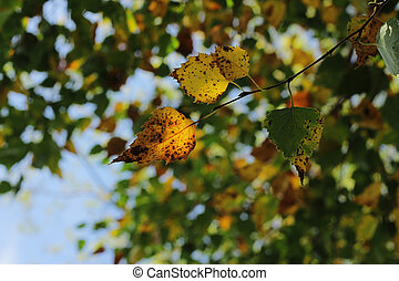 Autumn colored leaves of the tree