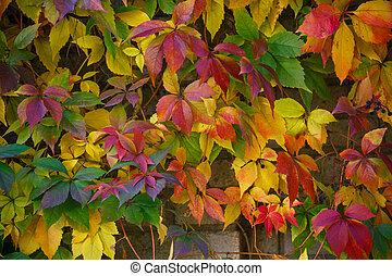 Parthenocissus tricuspidata on a ancient brick wall - Autumn...