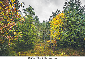 Autumn colors in a forest with pine trees