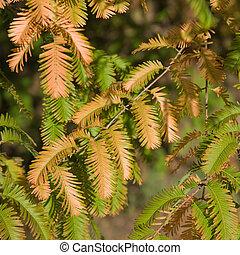 autumn colors in Metasequoia glyptostroboides (Dawn Redwood...
