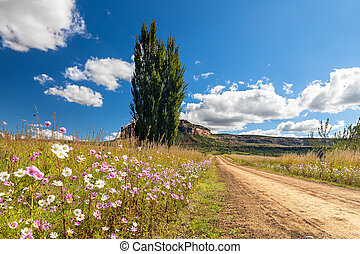 Autumn colour poplar trees lining the side of dirt road with cosmos flowers