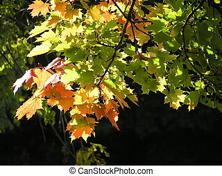 Autumn coloured maple leaves