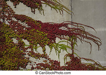 autumn colours leaves on a wall