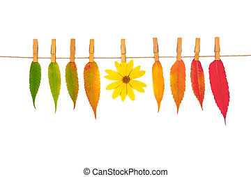 autumn composition of colorful leaves and yellow flower Jerusalem artichoke on a rope with clothespins isolated on a white background, top view flat lay