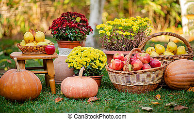 Autumn composition with flowers of chrysanthemums, pumpkins, apples and pears in a wicker basket in the autumn garden.