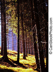Autumn coniferous forest with transmitted light and the...