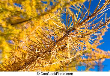 Detail of autumn coniferous tree