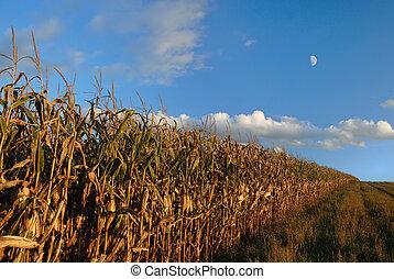 Autumn Cornfield - Line of cornfield rows in autumn against...